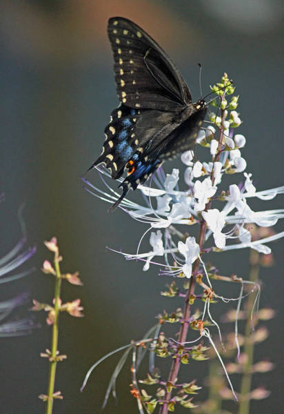 Seasonal Wall Art - Photograph - Black Swallowtail Among The Cats Whiskers by Suzanne Gaff