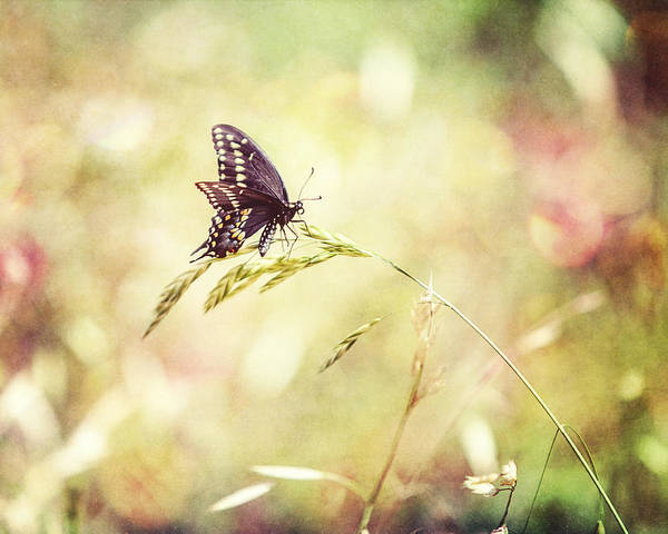 Wall Art - Photograph - Black Swallowtail Butterfly Art by Lisa Russo