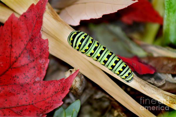 Black Swallowtail Butterfly Caterpillar Art Print