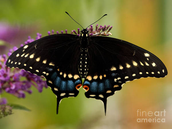 Papilio Polyxenes Wall Art - Photograph - Black Swallowtail Butterfly by Iris Richardson