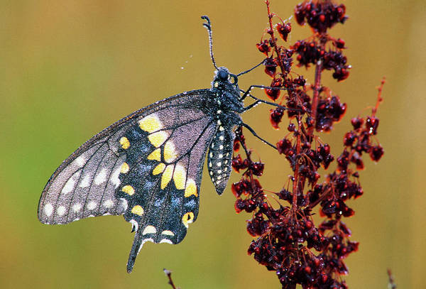 Papilio Polyxenes Wall Art - Photograph - Black Swallowtail Butterfly Papilio by Animal Images