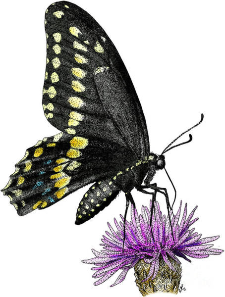 Photograph - Black Swallowtail Butterfly by Roger Hall