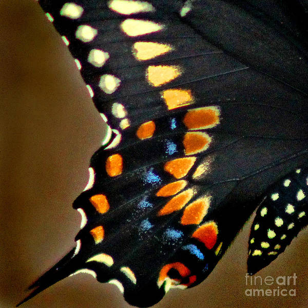 Photograph - Black Swallowtail Butterfly Wing Square by Karen Adams