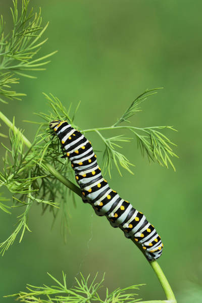 Papilio Polyxenes Wall Art - Photograph - Black Swallowtail Caterpillar Eating by Rolf Nussbaumer