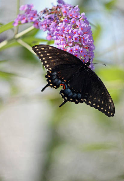 Summertime Wall Art - Photograph - Black Swallowtail Iv by Suzanne Gaff