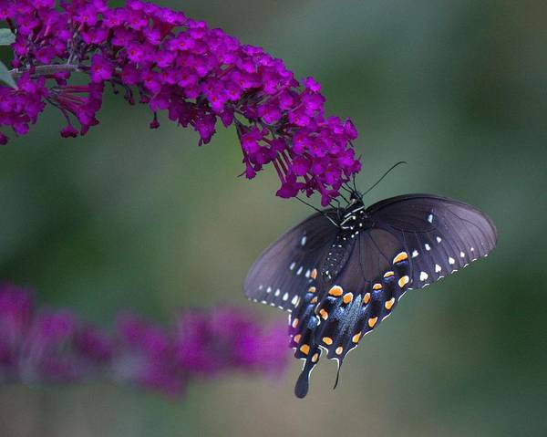 Photograph - Black Swallowtail by John Feiser
