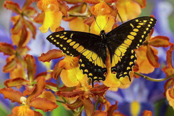 Swallowtail Photograph - Black Swallowtail Male From Costa Rica by Darrell Gulin