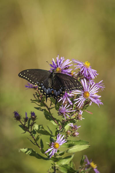 Papilio Polyxenes Wall Art - Photograph - Black Swallowtail On Aster Flower 1 by Thomas Young
