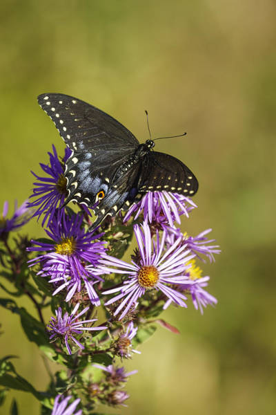 Papilio Polyxenes Wall Art - Photograph - Black Swallowtail On Aster Flower 2 by Thomas Young