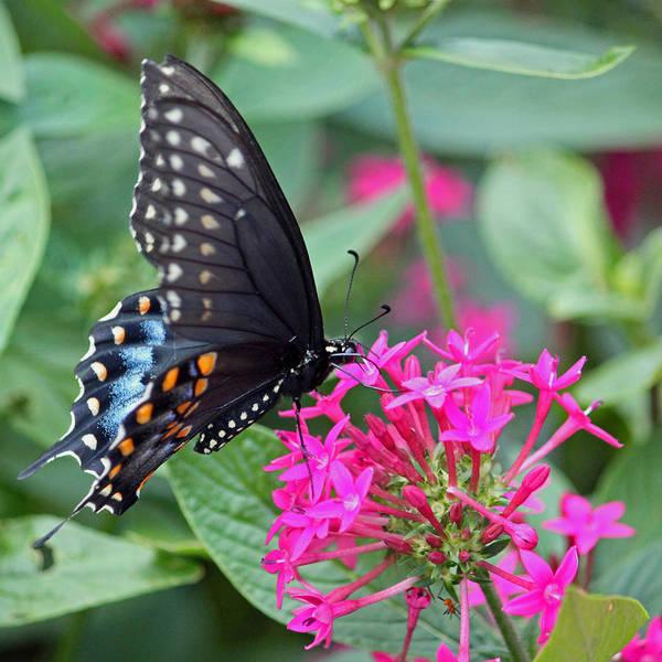 Seasonal Wall Art - Photograph - Black Swallowtail On Fuchsia by Suzanne Gaff