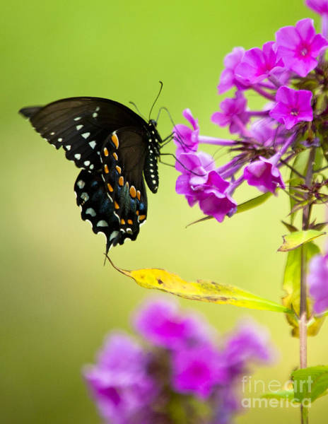 Wall Art - Photograph - Black Swallowtail by Roger Bailey
