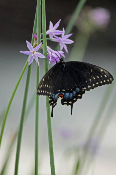 Summertime Wall Art - Photograph - Black Swallowtail Vi by Suzanne Gaff