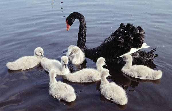 Swan Photograph - Black Swan And Cygnets by Flip De Nooyer