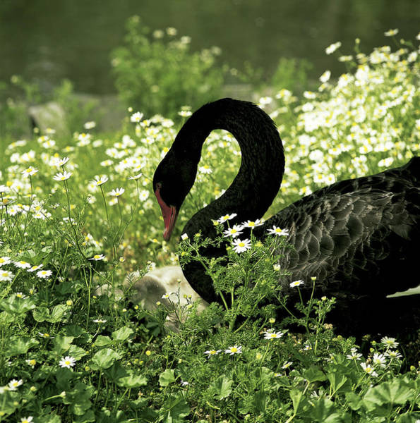 Wall Art - Photograph - Black Swan And Cygnets by Jeanne White