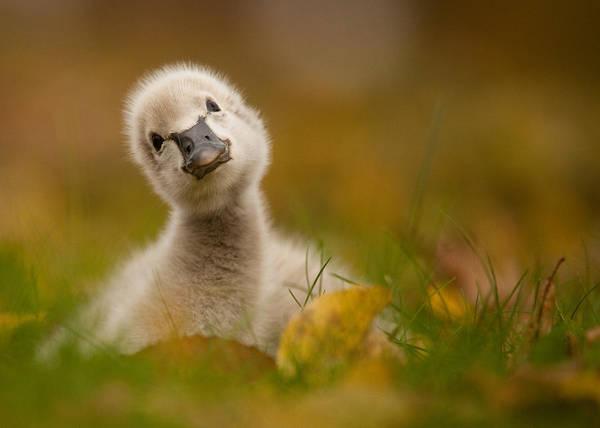 Duckling Photograph - Black Swan Baby by Robert Adamec