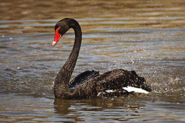 Photograph - Black Swan by Lee Kirchhevel