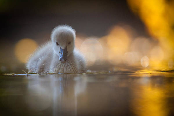 Ducks Photograph - Black Swan by Robert Adamec