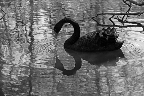 Wall Art - Photograph - Black Swan V In Black And White by Suzanne Gaff