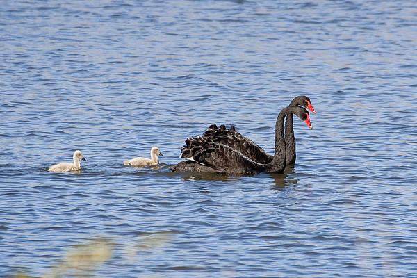 Photograph - Black Swans by Steven Ralser