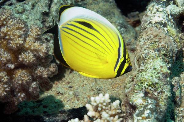 Ichthyology Wall Art - Photograph - Black-tailed Butterflyfish On A Reef by Georgette Douwma
