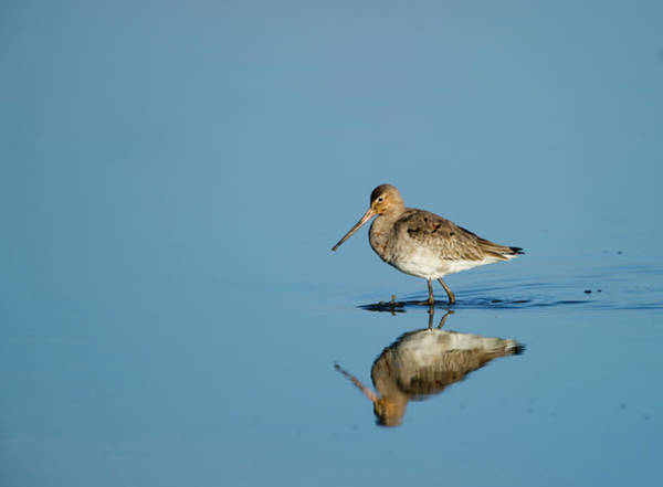 Wading Photograph - Black-tailed Godwit by David Tipling