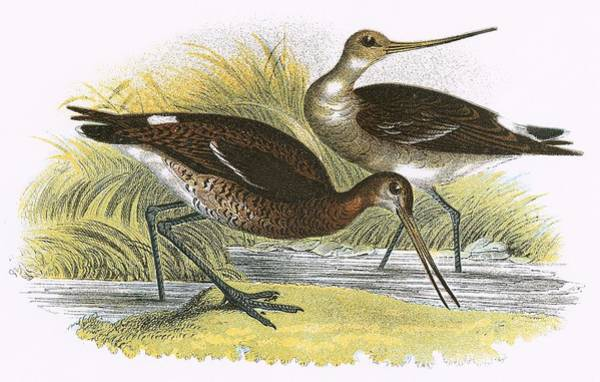 Ornithology Photograph - Black Tailed Godwit by English School
