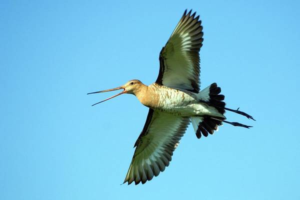 Long Tail Photograph - Black-tailed Godwit In Flight by Bildagentur-online/mcphoto-rolfes