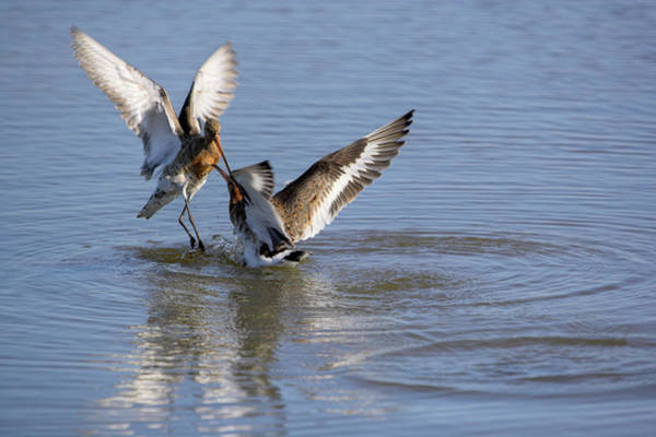 Wall Art - Photograph - Black-tailed Godwits Fighting by Simon Booth/science Photo Library