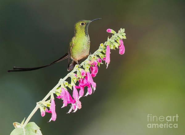 Photograph - Black-tailed Train-bearer Hummingbird by Dan Suzio