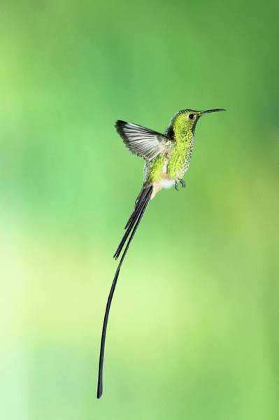 Long Tail Photograph - Black-tailed Trainbearer Hummingbird by Tony Camacho/science Photo Library