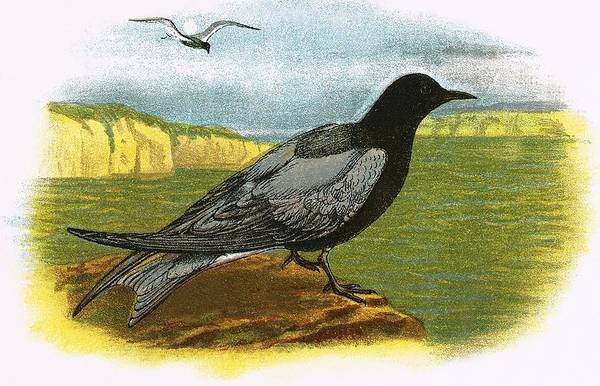 Ornithology Photograph - Black Tern by English School
