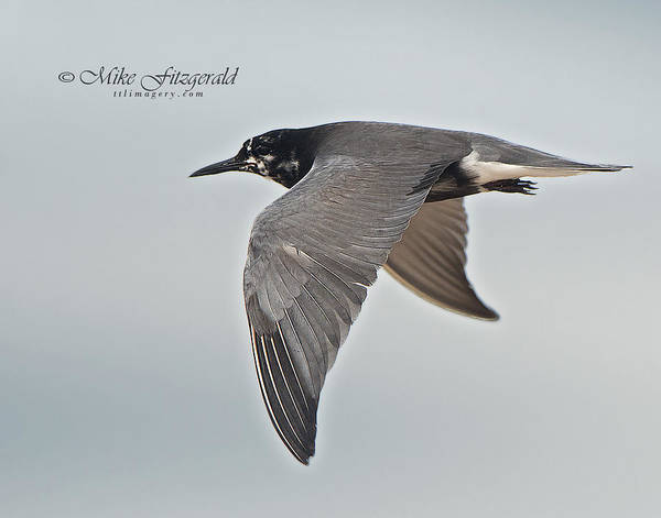 Photograph - Black Tern by Mike Fitzgerald