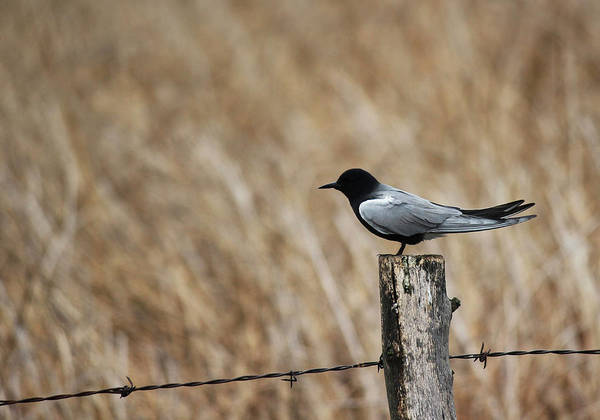 Photograph - Black Tern by Ryan Crouse