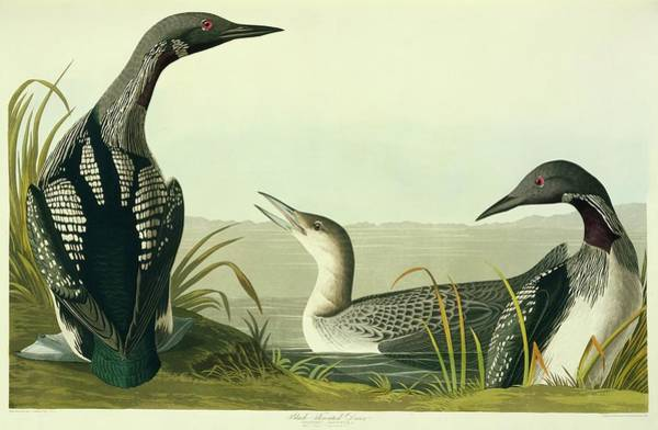 Loon Photograph - Black-throated Diver by Natural History Museum, London/science Photo Library
