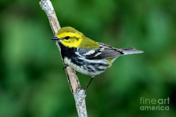 Parulidae Photograph - Black-throated Green Warbler, Male by Anthony Mercieca