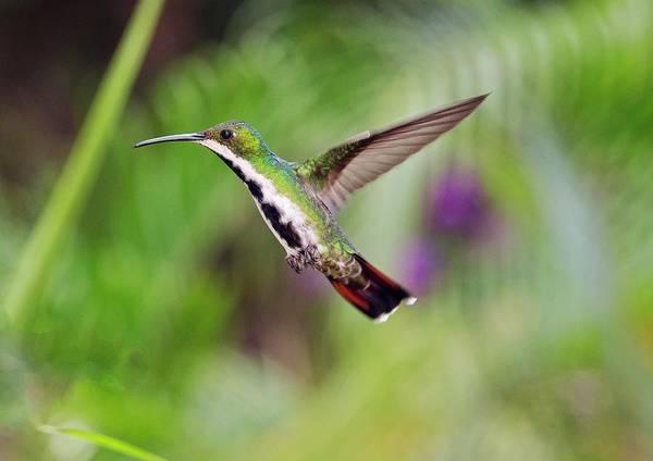 Hummingbird Feeder Photograph - Black-throated Mango Hummingbird by Bob Gibbons