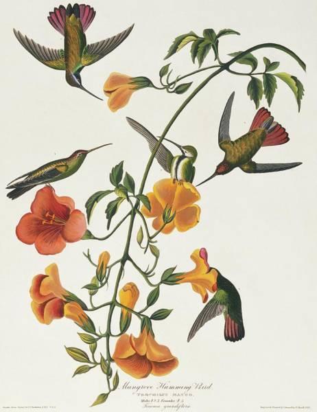 Hummingbird Feeder Photograph - Black-throated Mango Hummingbird by Natural History Museum, London/science Photo Library