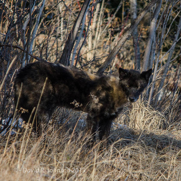 Bwcaw Photograph - Black Timber Wolf by David Johnson