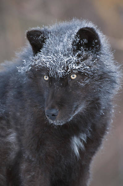 Wall Art - Photograph - Black Timber Wolf Dusted With Snow by Steve Gettle