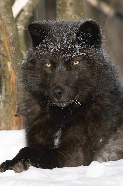 Wall Art - Photograph - Black Timber Wolf In Snow by Steve Gettle