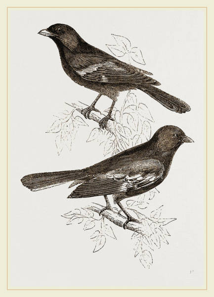 Titmouse Drawing - Black Titmice by Litz Collection