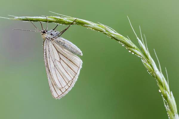 Imago Photograph - Black-veined Moth by Heath Mcdonald