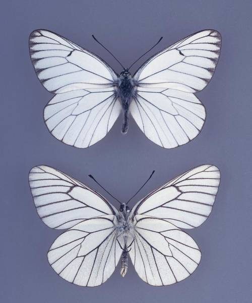 Wall Art - Photograph - Black-veined White Butterfly by Natural History Museum, London/science Photo Library