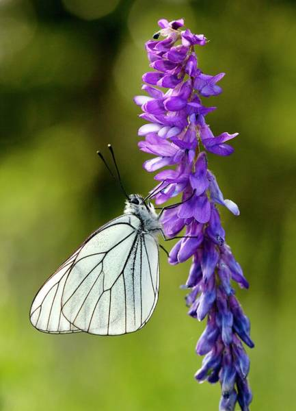 Eastern Europe Wall Art - Photograph - Black-veined White On Narrow-leaved Vetch by Bob Gibbons