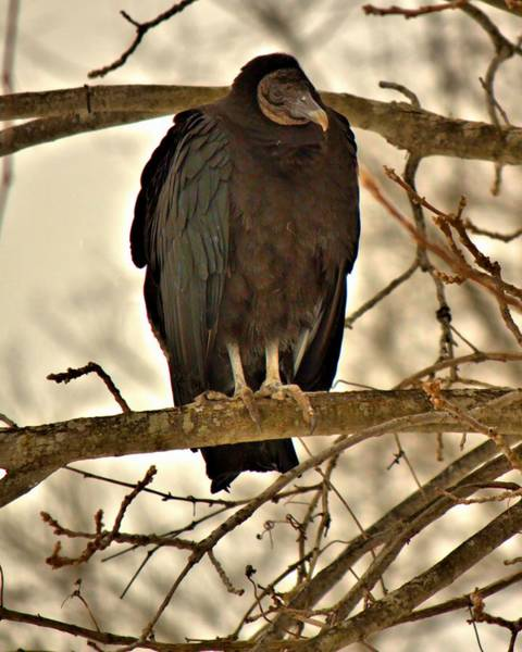 Photograph - Black Vulture 1 by John Feiser