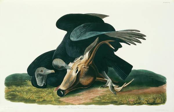 Aquatint Photograph - Black Vulture by Natural History Museum, London/science Photo Library