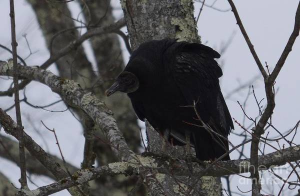 Photograph - Black Vulture by Randy Bodkins
