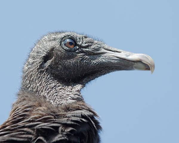 Photograph - Black Vulture  by Rudy Umans