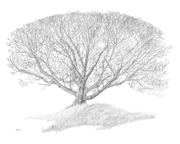 Drawing - Black Walnut by Carl Genovese