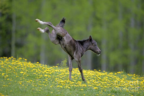 Photograph - Black Welsh Mountain Pony Foal by Rolf Kopfle